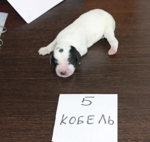 кобель 5