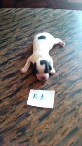 щенок Айрис-Бим.к01