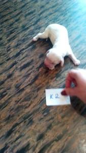 щенок Айрис-Бим.к2